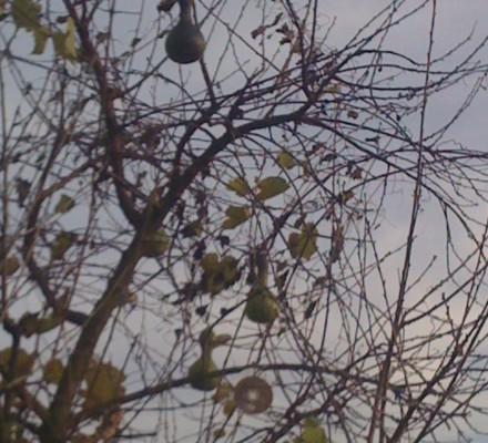 Flaschenkürbisbaum